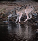 Gray wolf. Timber wolf drinking from Minnesota river Royalty Free Stock Photo