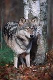 Gray wolf. Timber wolf in forest. Northern Minnesota Royalty Free Stock Photos