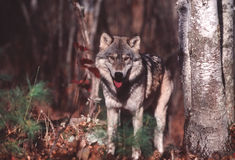 Gray wolf. Timber wolf in Northern Minnesota forest stock images