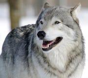 Free Gray Wolf Royalty Free Stock Photo - 9916275