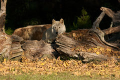 Gray Wolf in the afternoon. Stock Photography