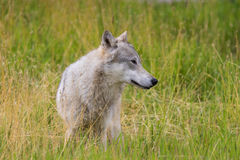 Gray Wolf in Alaska Royalty Free Stock Photography
