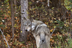 Gray Wolf along forest edge Stock Photos