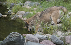 Wolf getting a drink at a pond Stock Photo