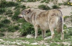 Gray Wolf anseende i naturlig atmosfär Arkivbilder