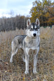 The gray wolf in the autumn forest Stock Images