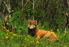 Gray Wolf Bedded in Meadow Stock Image