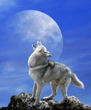 Gray wolf and big moon. Wolf howls in the background of the moon Royalty Free Stock Image