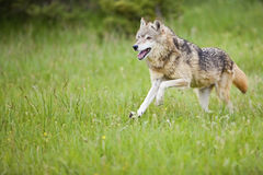 Gray wolf Canis Lupus stock photo