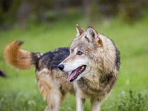 Gray wolf Canis Lupus Royalty Free Stock Photo