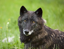 Gray wolf Canis Lupus portrait side view Stock Image