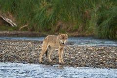 Gray Wolf Canis-lupis van Alaska stock afbeelding