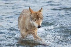 Gray Wolf Canis-lupis van Alaska stock foto's