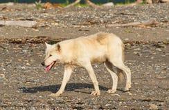 Gray Wolf Canis-lupis van Alaska royalty-vrije stock foto
