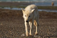 Gray Wolf Canis-lupis van Alaska royalty-vrije stock afbeeldingen