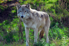 Gray wolf (Canis lupus). Portrait of a Gray Wolf in it's natural environment Stock Image