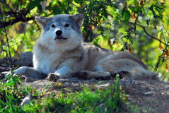 Gray wolf (Canis lupus). Portrait of a Gray Wolf in it's natural environment Royalty Free Stock Image