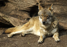 Gray wolf (Canis lupus). Drowsing gray wolf in zoo Stock Photography