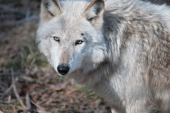 Gray Wolf (Canis lupus) Royalty Free Stock Photography