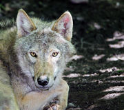 Gray Wolf - Canis lupus Royalty Free Stock Photo