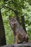 Gray Wolf / Canis Lupus Royalty Free Stock Photo