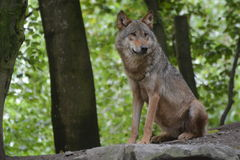 Gray Wolf / Canis Lupus Royalty Free Stock Photos