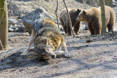 Gray wolf (Canis lupus) and brown bear (Ursus arctos) Royalty Free Stock Photography