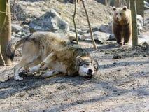 Gray wolf (Canis lupus) and brown bear (Ursus arctos) Stock Photos