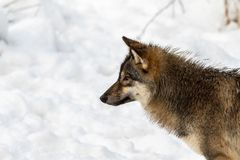 Gray wolf, Canis lupus, head in profile, looking left, with snow in the background. Captive animals in Dyreparken, Kristiansand, Norway royalty free stock image