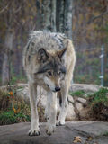 The Gray Wolf – Canis Lupus Royalty Free Stock Photography