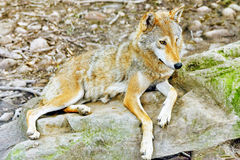Gray wolf (canis lupus). Stock Photography