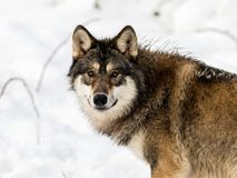 Gray wolf, Canis lupus, looking in camera. with snow in the background. Royalty Free Stock Photo