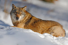 Gray wolf, Canis lupus, lying in the white during winter. Gray wolf, Canis lupus, lying in the white Stock Photos