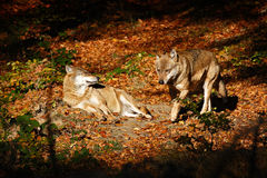 Gray wolf, Canis lupus, in the orange leaves. Two wolfs in the autumn orange forest. Animal in the nature habitat. Wildlife scene Royalty Free Stock Images