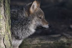 Gray wolf, Canis lupus, portrait of head, adult, young. February, winter facial detail stock photos