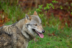 Gray wolf, Canis lupus, portrait with stuck out tongue, in the spring light green leaves forest Royalty Free Stock Images