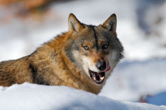 Gray wolf, Canis lupus, portrait with stuck out tongue, at white snow Royalty Free Stock Images