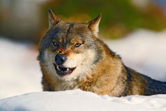 Gray wolf, Canis lupus, portrait at white snow, Norway Royalty Free Stock Photography
