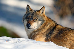 Gray wolf, Canis lupus, portrait at white snow, Norway Stock Images