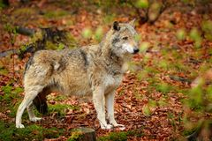 Gray wolf, Canis lupus, in the spring light, in the forest with green leaves. Wolf in the nature habitat. Wild animal in the royalty free stock image