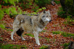 Gray wolf, Canis lupus, in the spring light green leaves forest Stock Images