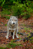Gray wolf, Canis lupus, in the spring light green leaves forest Royalty Free Stock Photo