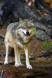 The gray wolf Canis lupus standing in the forest. The gray wolf or grey wolf Canis lupus standing in the forest stock photo
