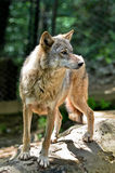 Gray wolf - Canis lupus Royalty Free Stock Photography