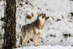 Gray wolf, Canis lupus, standing in a snowy winter forest, with the nose pointing up. Gray wolf, Canis lupus, standing looking right, in a snowy winter forest Royalty Free Stock Photography