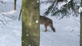 Gray wolf (Canis lupus) walking in the snowy forest in winter. Royalty Free Stock Image