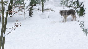 Gray wolf (Canis lupus) walking in the snowy forest in winter. Stock Images