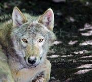 Gray Wolf - Canislupus Royaltyfri Foto