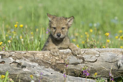 Gray wolf cub. Photographed near his den in Montana Royalty Free Stock Image