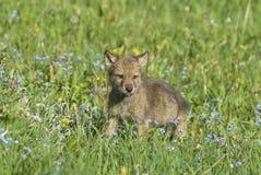 Gray wolf cub royalty free stock image